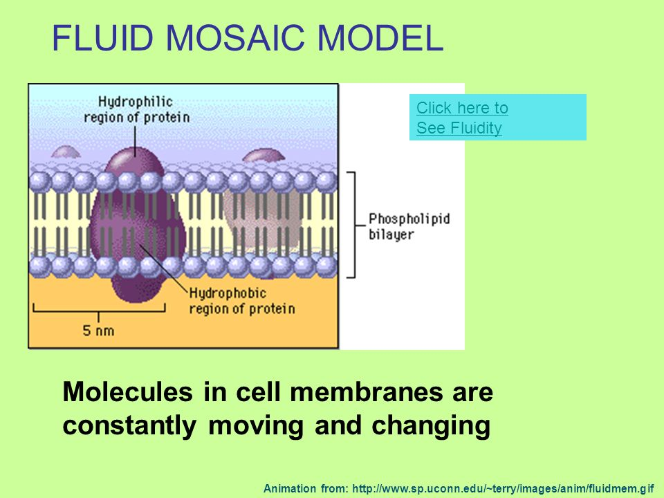 WHATS SPECIAL ABOUT PLANT CELLS? Cell wall HUGE vacuoles Chloroplasts No centrioles