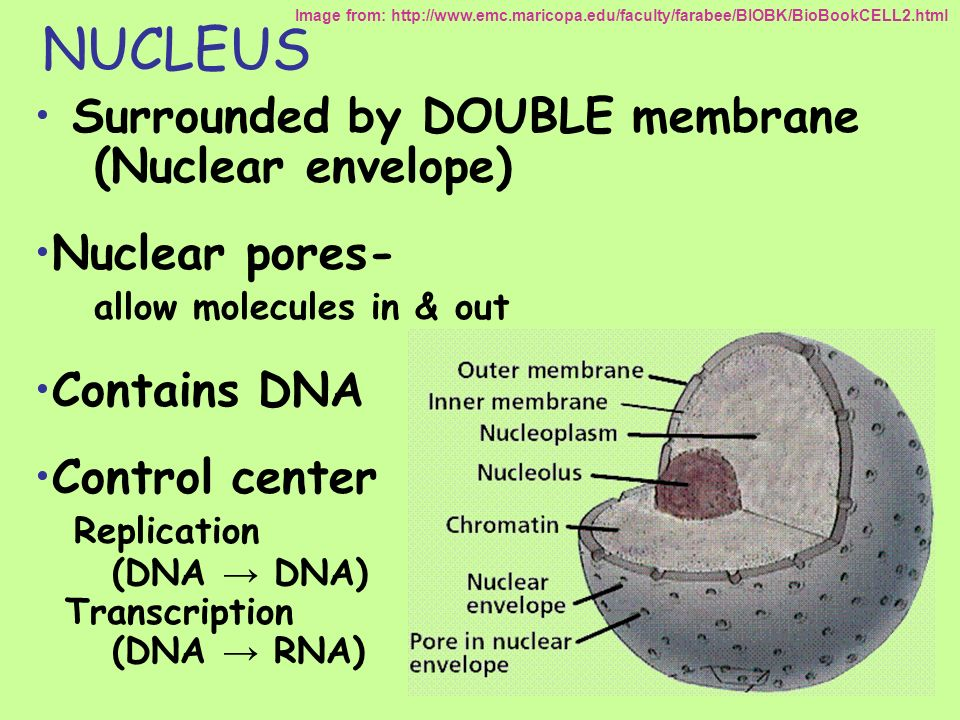 NUCLEUS Surrounded by DOUBLE membrane (Nuclear envelope) Nuclear pores- allow molecules in & out Contains DNA Control center Replication (DNA DNA) Tra