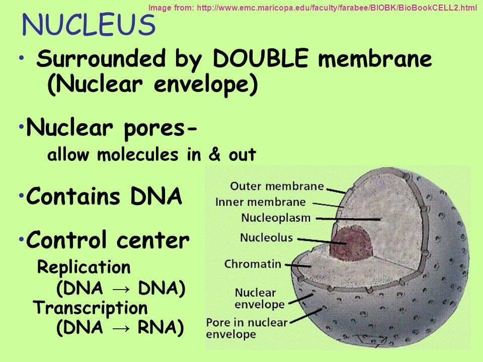 NUCLEOLUS Dark spot in nucleus Produces ribosomal RNA Assembles ribosomes (RNA & proteins) Image from: http://lifesci.rutgers.edu/~babiarz/histo/cell/nuc3L.jpg http://universe-review.ca/I09-08-RNA.gif