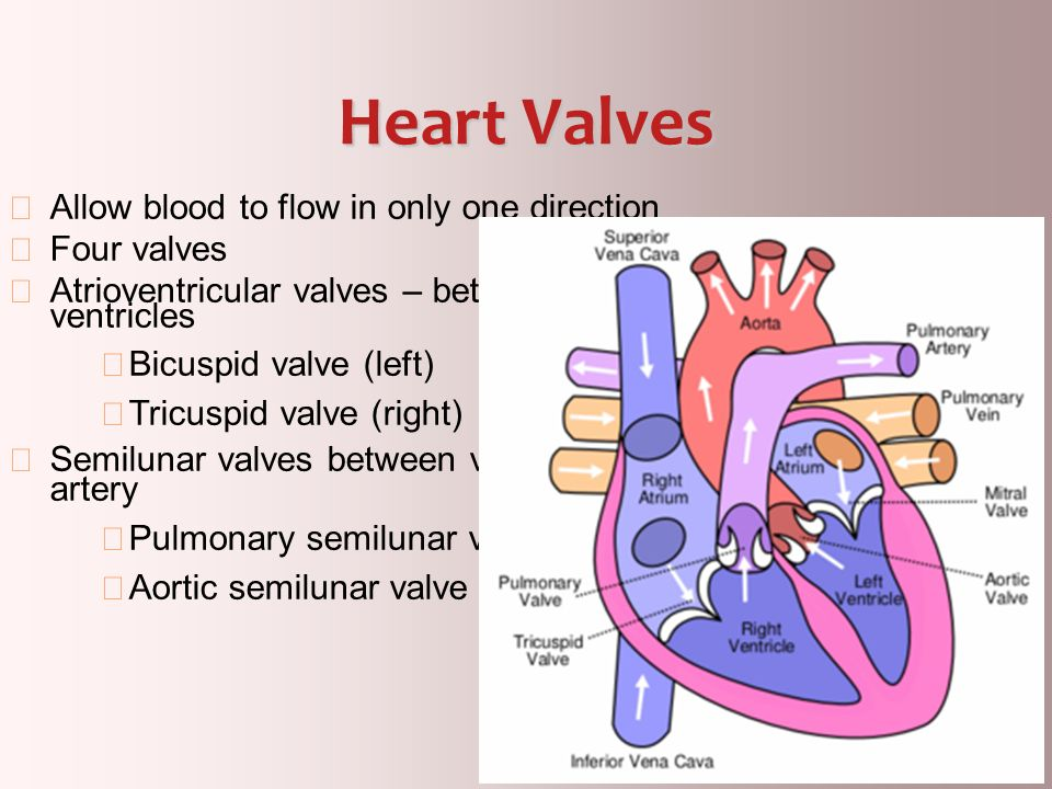 7 Vessels of the heart Aorta Leaves left ventricle Pulmonary arteries Leave right ventricle Vena cava Enters right atrium Pulmonary veins (four) Enter left atrium