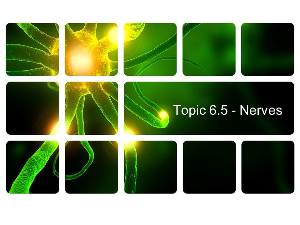 Topic 6.5 - Nerves