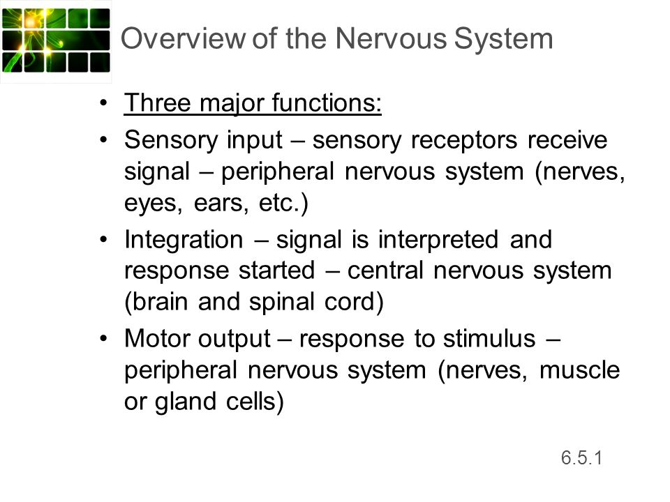 6.5.1 Overview of the Nervous System Three major functions: Sensory input – sensory receptors receive signal – peripheral nervous system (nerves, eyes
