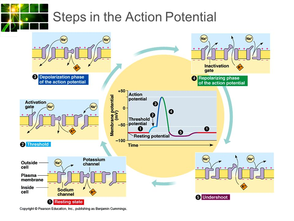 Steps in the Action Potential