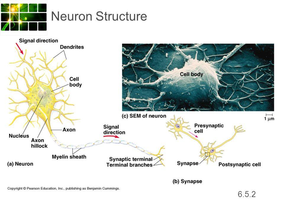 6.5.2 Neuron Structure