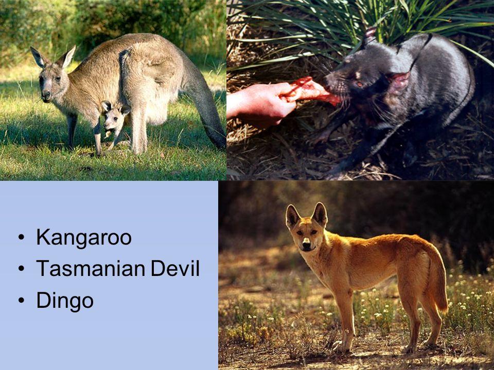 Kangaroo Tasmanian Devil Dingo