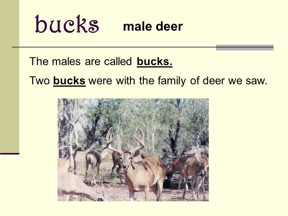bucks male deer The males are called bucks. Two bucks were with the family of deer we saw.