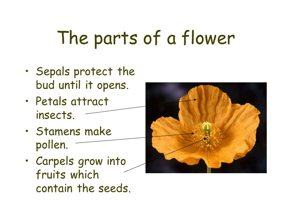 The parts of a flower Sepals protect the bud until it opens. Petals attract insects. Stamens make pollen. Carpels grow into fruits which contain the s