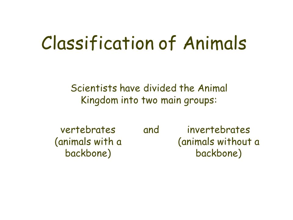 Classification of Animals Scientists have divided the Animal Kingdom into two main groups: vertebrates (animals with a backbone) invertebrates (animal