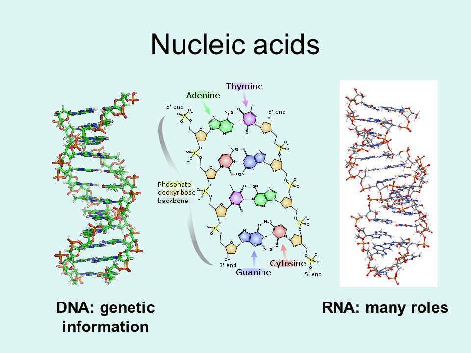 Nucleic acids DNA: genetic information RNA: many roles