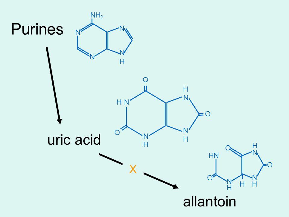 Purines uric acid allantoin N N NHNH N NH 2 N N N O H H H O O H N N H O N N H H O H N O H X