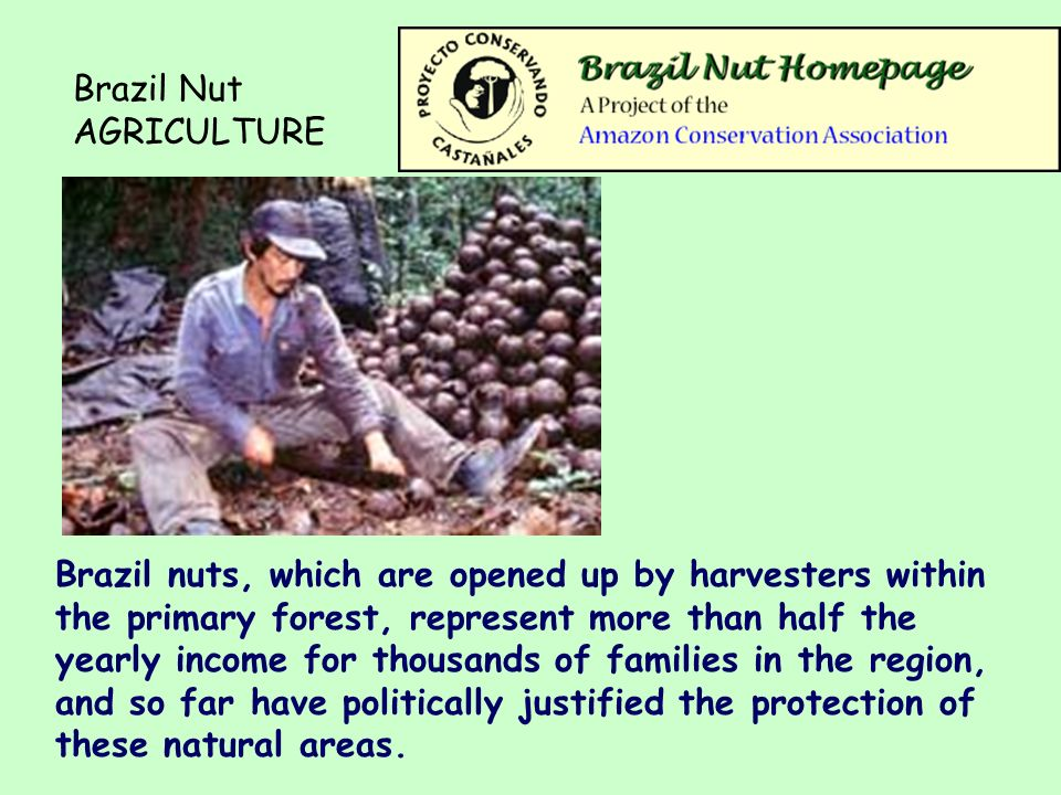 Brazil Nut AGRICULTURE Brazil nuts, which are opened up by harvesters within the primary forest, represent more than half the yearly income for thousands of families in the region, and so far have politically justified the protection of these natural areas.