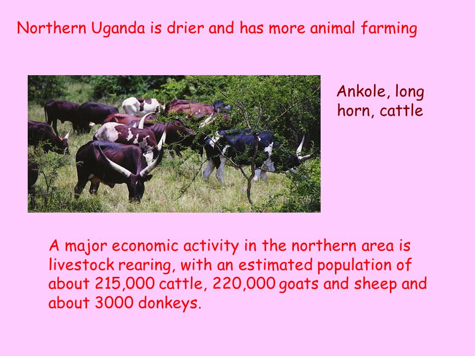 A major economic activity in the northern area is livestock rearing, with an estimated population of about 215,000 cattle, 220,000 goats and sheep and about 3000 donkeys.