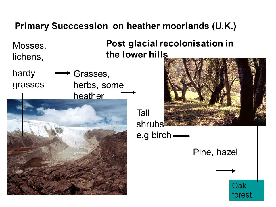 Primary Succcession on heather moorlands (U.K.) Mosses, lichens, hardy grasses Grasses, herbs, some heather Tall shrubs e.g birch Pine, hazel Oak fore