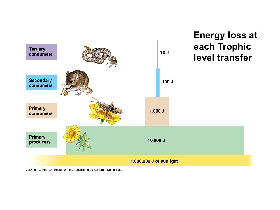 Energy loss at each Trophic level transfer