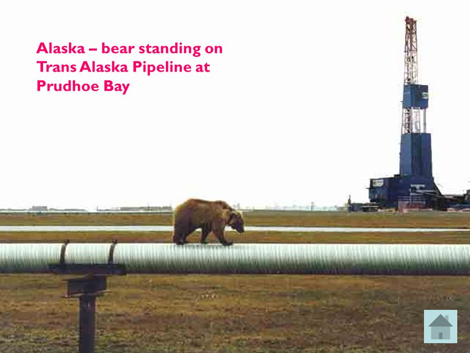 Alaska – bear standing on Trans Alaska Pipeline at Prudhoe Bay