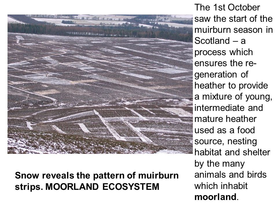 The 1st October saw the start of the muirburn season in Scotland – a process which ensures the re- generation of heather to provide a mixture of young, intermediate and mature heather used as a food source, nesting habitat and shelter by the many animals and birds which inhabit moorland.