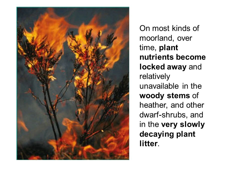 On most kinds of moorland, over time, plant nutrients become locked away and relatively unavailable in the woody stems of heather, and other dwarf-shr