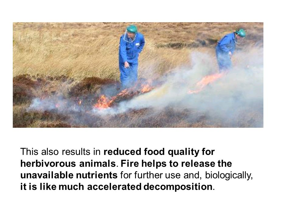 This also results in reduced food quality for herbivorous animals. Fire helps to release the unavailable nutrients for further use and, biologically,