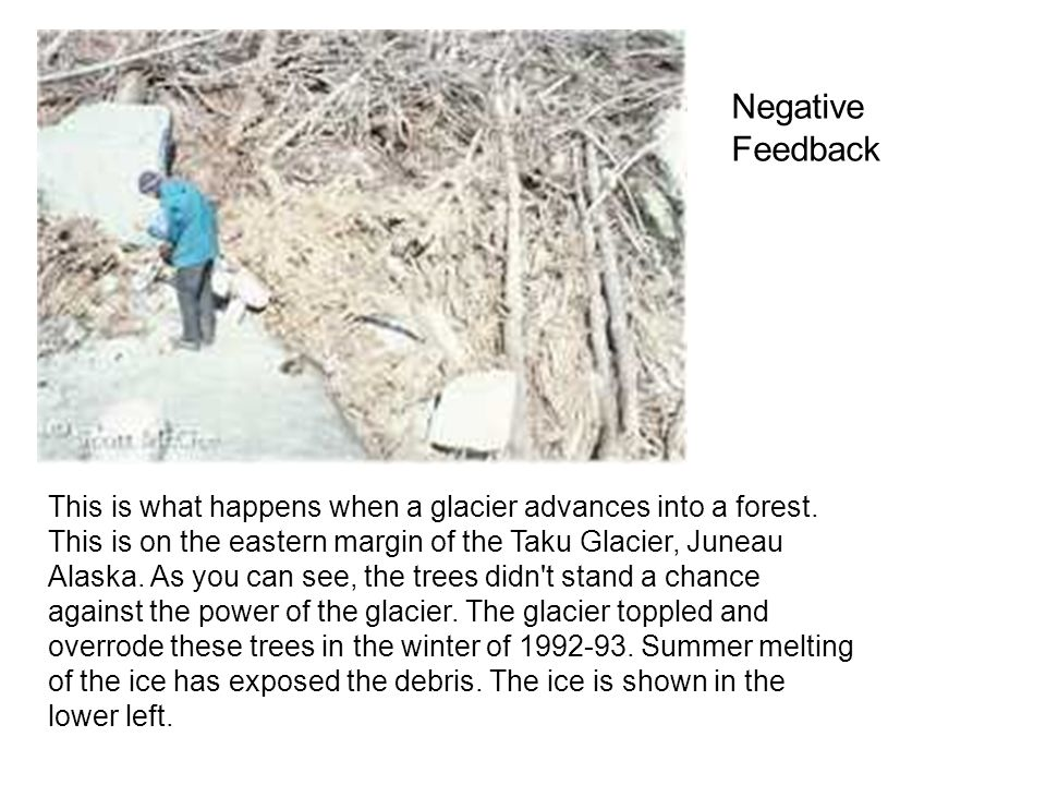 This is what happens when a glacier advances into a forest. This is on the eastern margin of the Taku Glacier, Juneau Alaska. As you can see, the tree