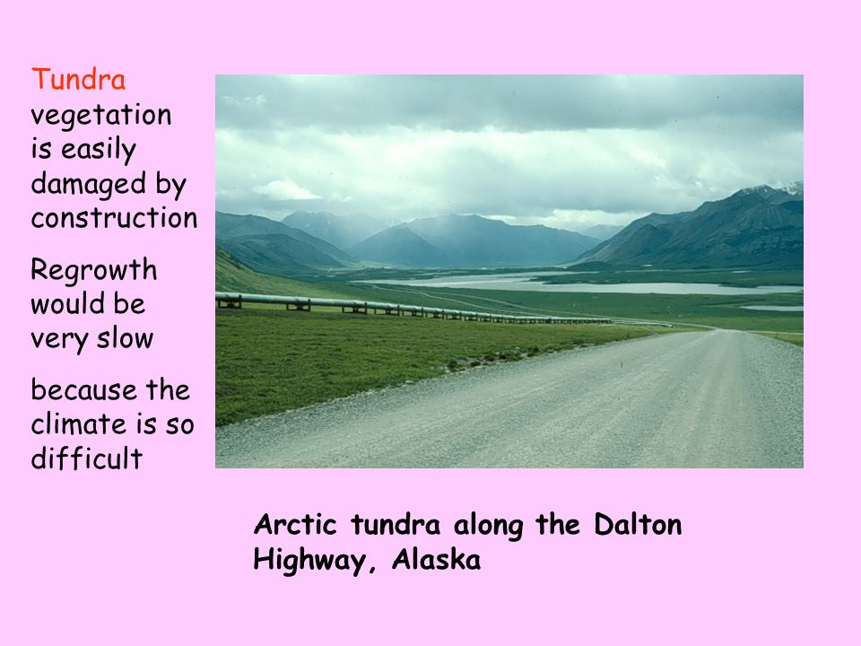 Arctic tundra along the Dalton Highway, Alaska Tundra vegetation is easily damaged by construction Regrowth would be very slow because the climate is so difficult