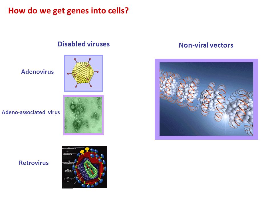 How do we get genes into cells? Disabled viruses Adenovirus Adeno-associated virus Non-viral vectors Retrovirus
