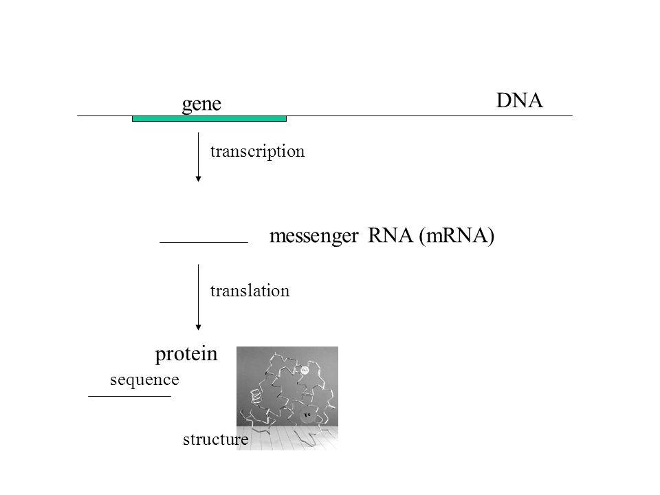 DNA gene transcription messenger RNA (mRNA) protein sequence structure translation