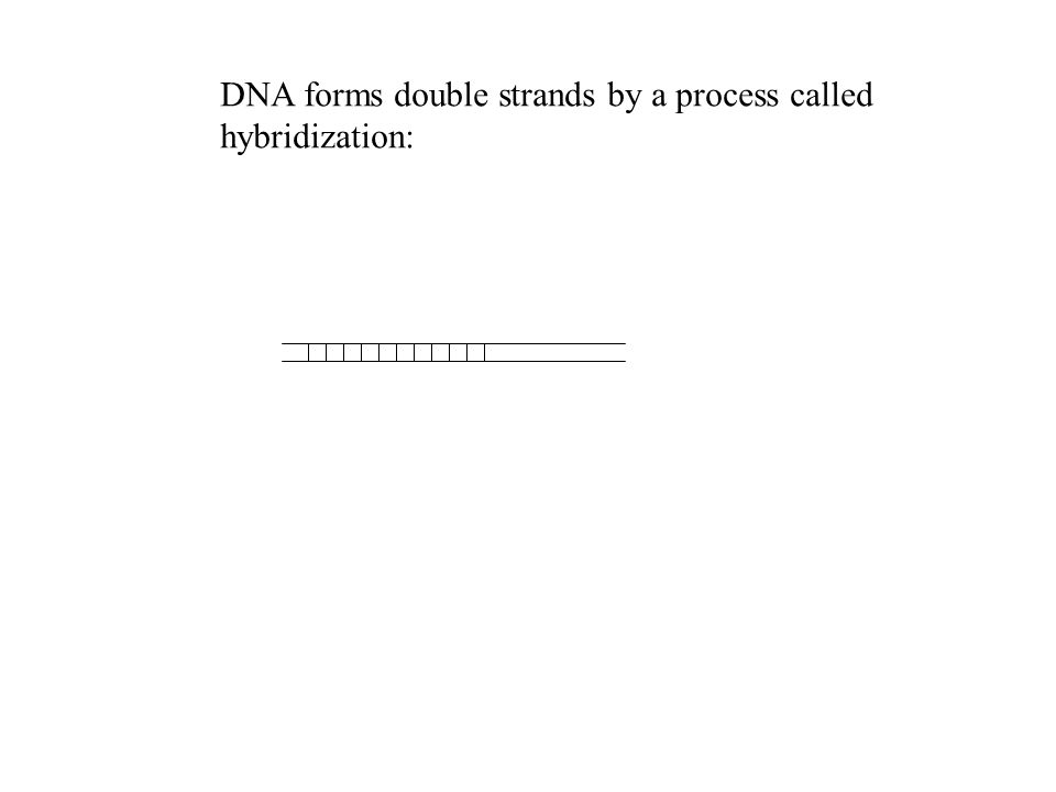 DNA forms double strands by a process called hybridization: