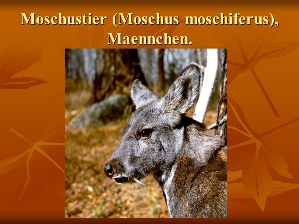 Moschustier (Moschus moschiferus), Maennchen.