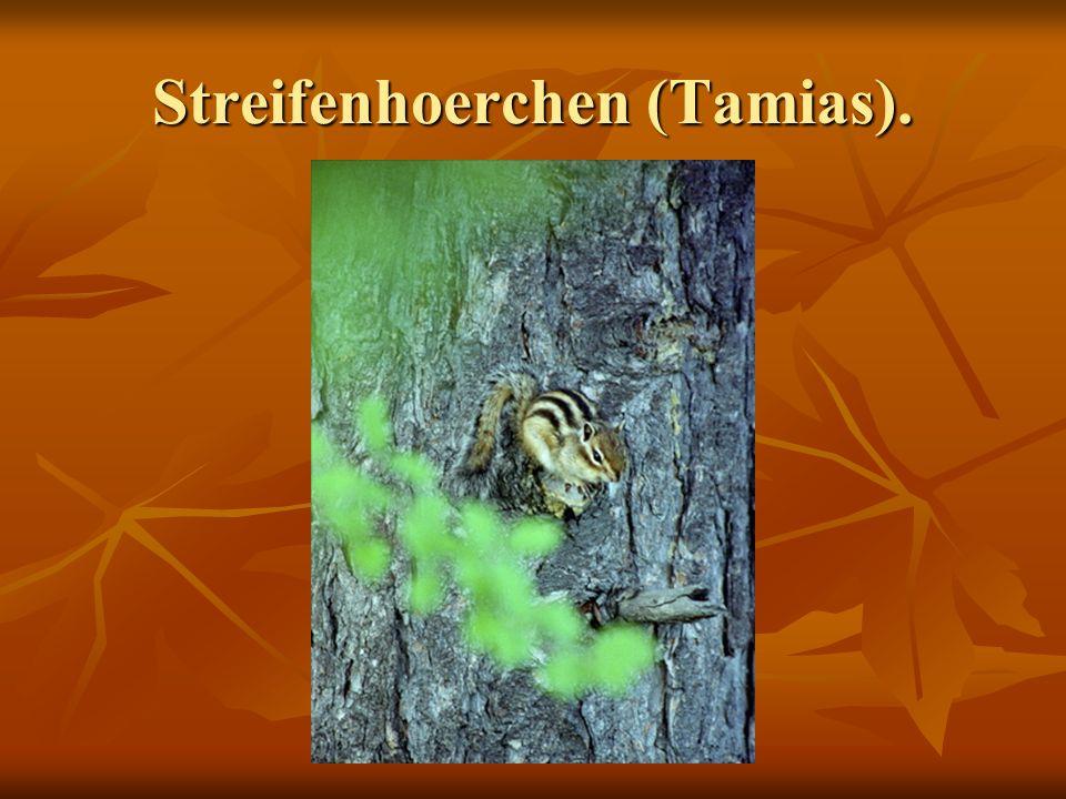 Streifenhoerchen (Tamias).