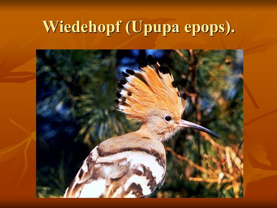Wiedehopf (Upupa epops).