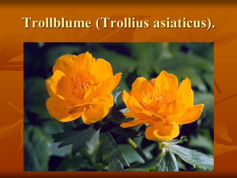 Trollblume (Trollius asiaticus).