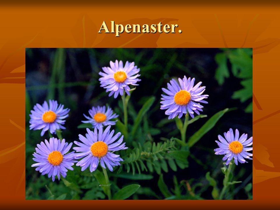 Alpenaster.