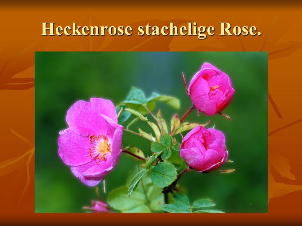 Heckenrose stachelige Rose.