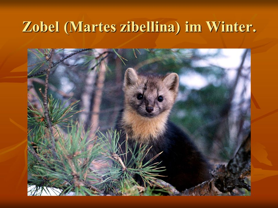 Zobel (Martes zibellina) im Winter.