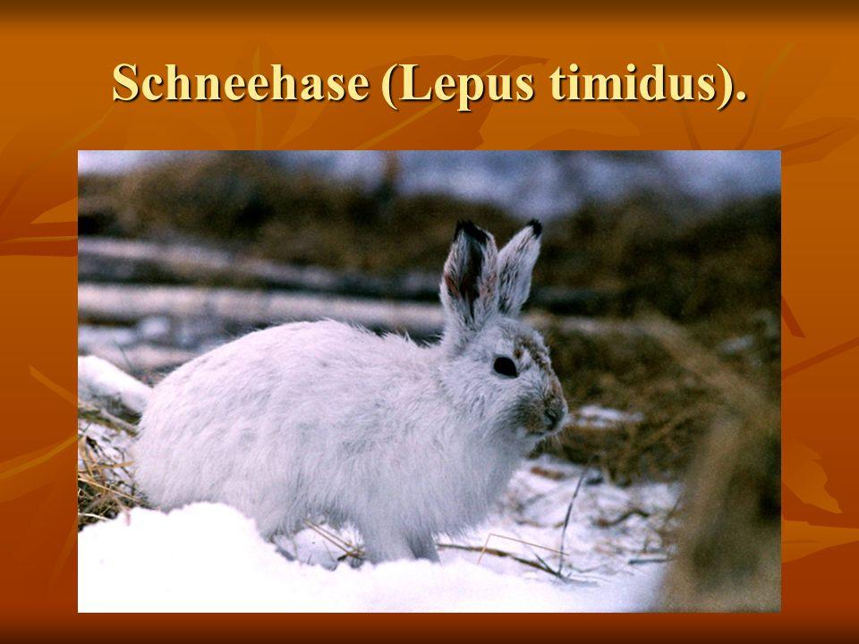 Schneehase (Lepus timidus).