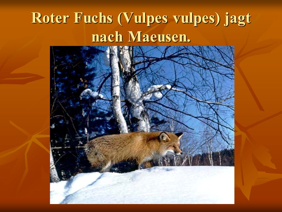 Roter Fuchs (Vulpes vulpes) jagt nach Maeusen.