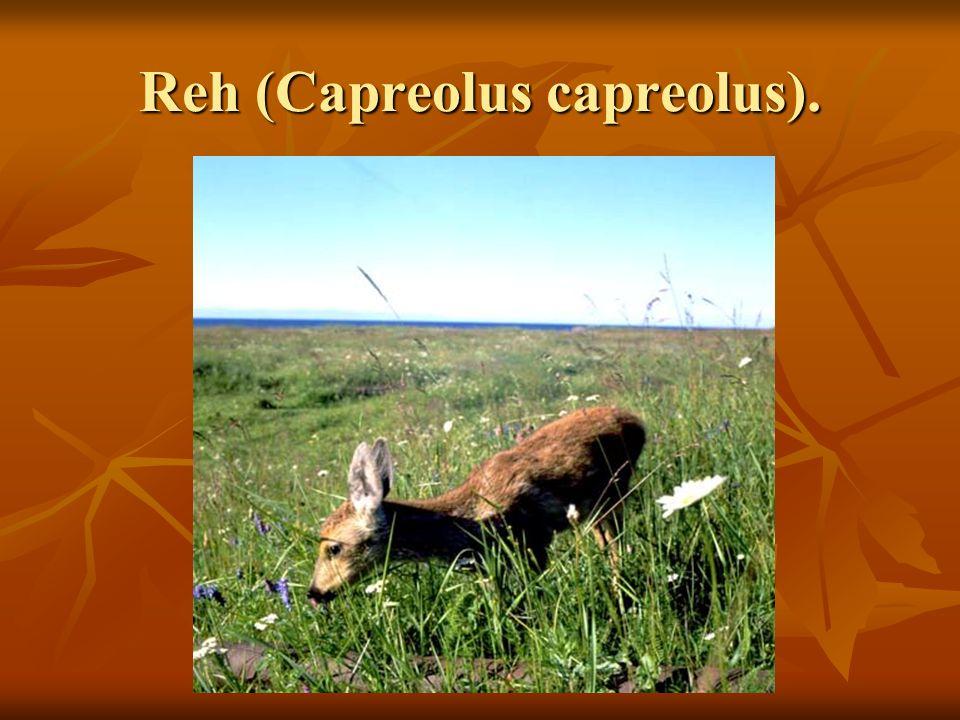 Reh (Capreolus capreolus).