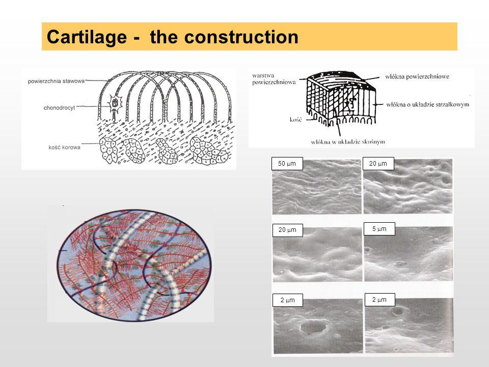 Cartilage - the construction 20 m 5 m 20 m 50 m 2 m