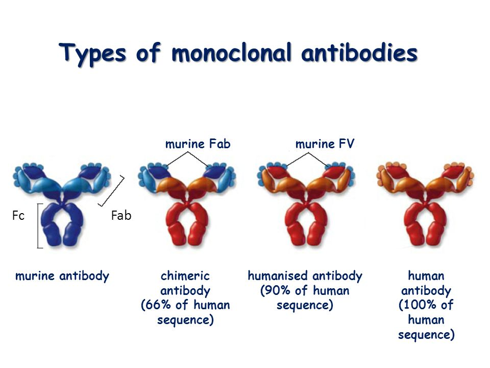 Types of monoclonal antibodies murine antibodychimeric antibody (66% of human sequence) humanised antibody (90% of human sequence) human antibody (100% of human sequence) murine Fab murine FV Fab Fc