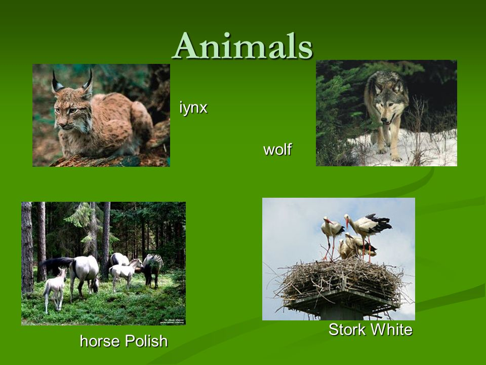 Animals iynx wolf horse Polish Stork White