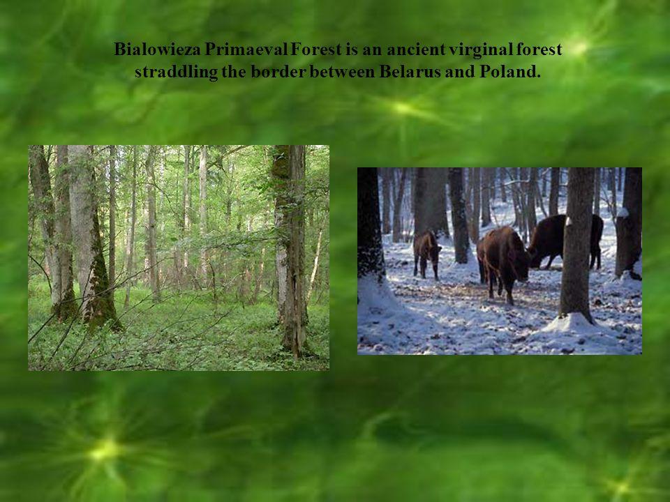 Białowieża National Park Białowieża National Park is part of the Bialowieża Forest.