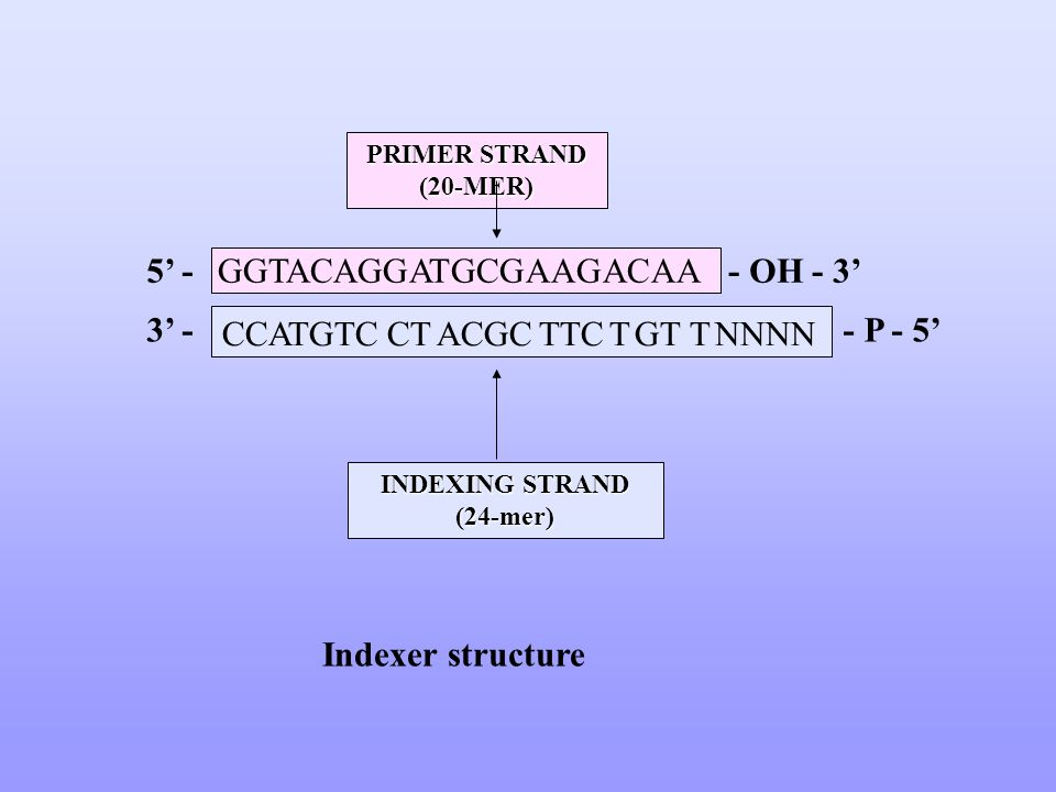 INDEXING STRAND (24-mer) PRIMER STRAND (20-MER) GGTACAGGATGCGAAGACAA CCATGTC CT ACGC TTC T GT T NNNN Indexer structure 5 -- OH - 3 3 -- P - 5