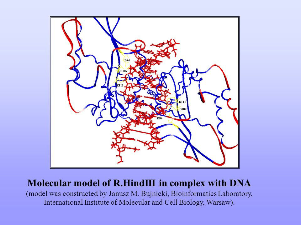 Molecular model of R.HindIII in complex with DNA (model was constructed by Janusz M.