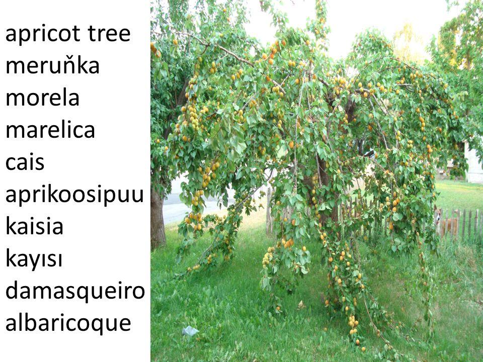 Apple tree jabloň jabłoń jabuka M ă r Ounapuu yabalka Elma Macieira Manzano
