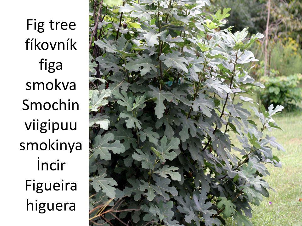 Olive tree olivovník oliwka maslina M ă slin oliivipuu maslina Zeytin Oliveira olivo