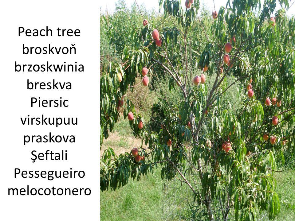 Tree crown koruna stromu korona krošnja Coroan ă vora korona na darvo Taç arbóreo copa