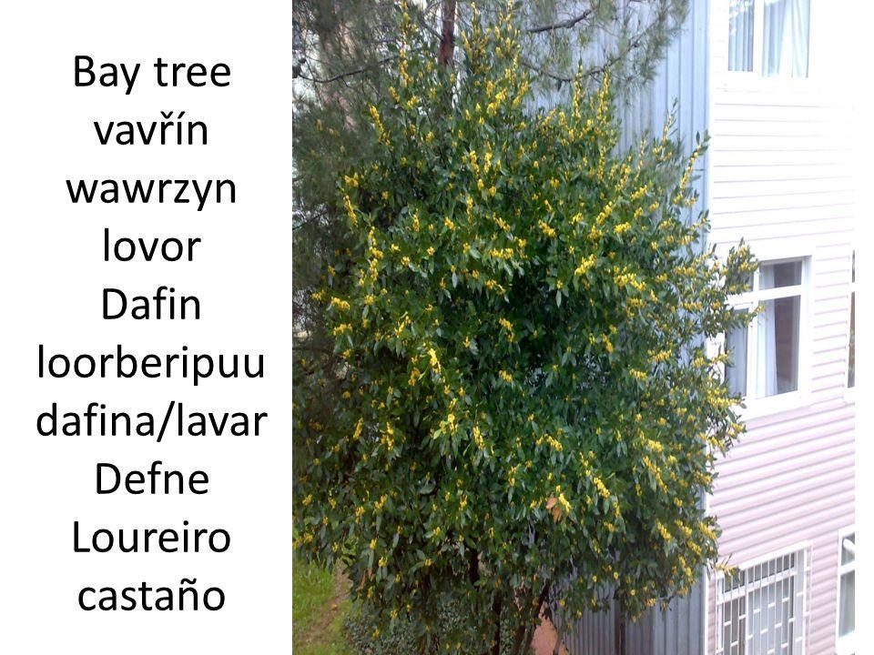 Larch tree modřín opadavý modrzew ariš Zad ă lehis listvenica/borika Karaçam Larix alerce