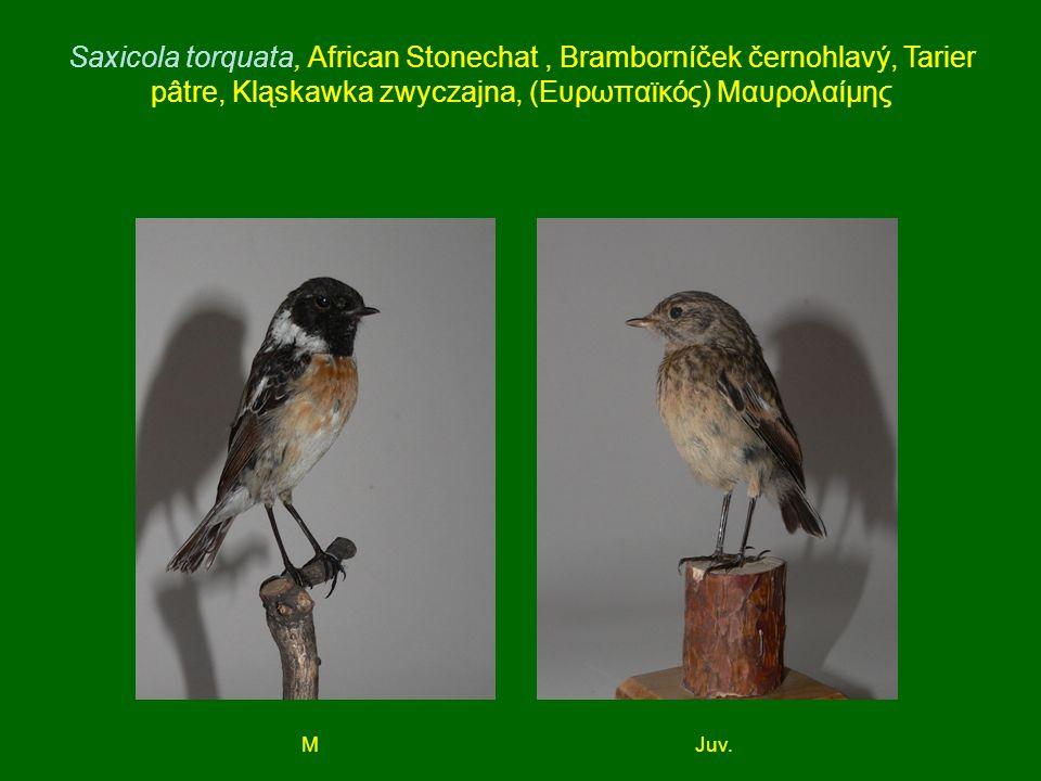 Saxicola torquata, African Stonechat, Bramborníček černohlavý, Tarier pâtre, Kląskawka zwyczajna, (Ευρωπαϊκός) Μαυρολαίμης MJuv.