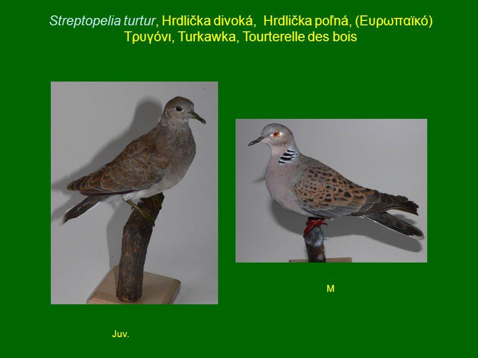 Streptopelia turtur, Hrdlička divoká, Hrdlička poľná, (Ευρωπαϊκό) Τρυγόνι, Turkawka, Tourterelle des bois Juv. M