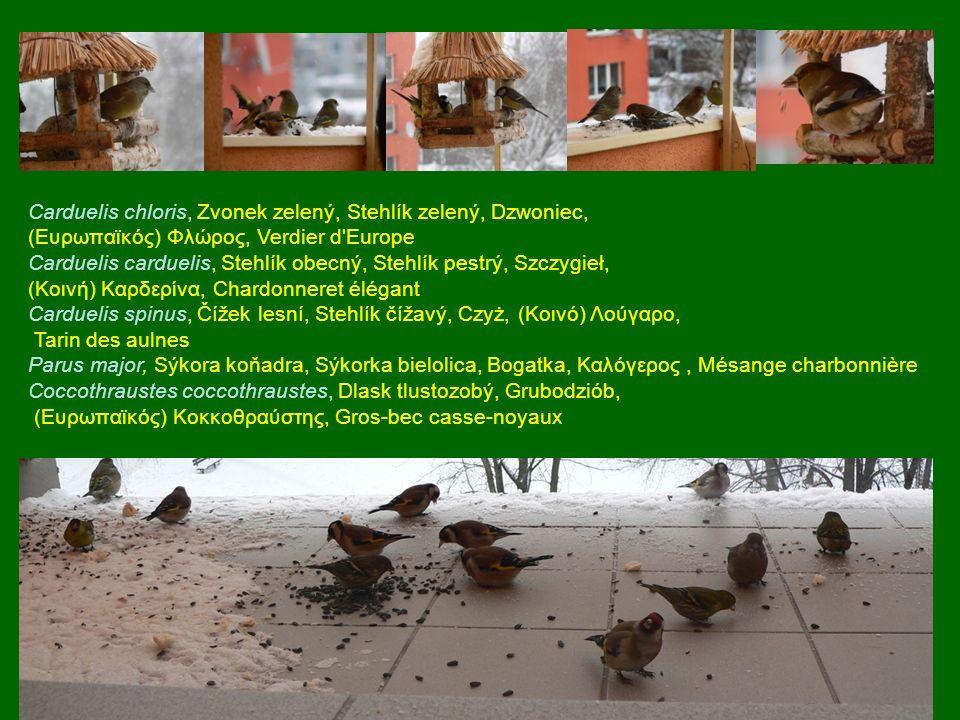 Carduelis chloris, Zvonek zelený, Stehlík zelený, Dzwoniec, (Ευρωπαϊκός) Φλώρος, Verdier d'Europe Carduelis carduelis, Stehlík obecný, Stehlík pestrý,